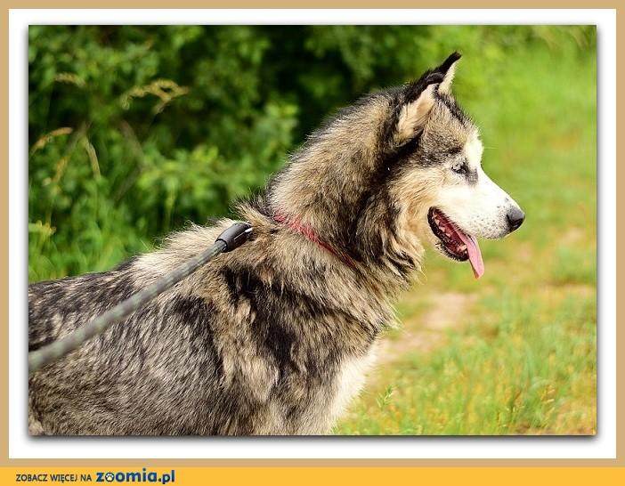 Z domu tymcz_w typie husky,sterylizowana,aktywna,łagodna sunia ALASKA_Adopcja