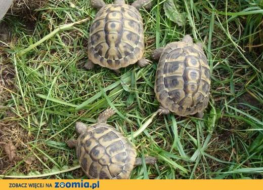 żółw grecki,  śląskie Jaworzno
