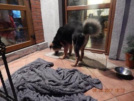 WINSTON - młody  duży  przyjazny pies szuka domu z ogrodem :)
