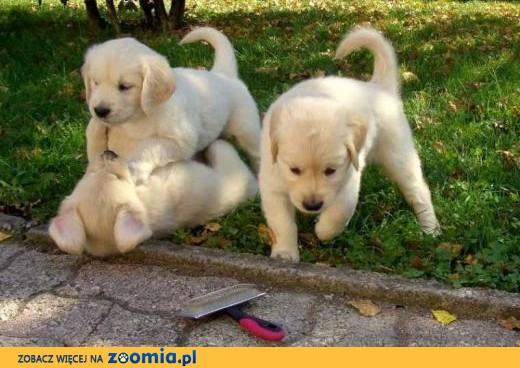 Golden Retriever Puppies - wysoka jakość - na sprzedaż,  lubelskie Bełżyce