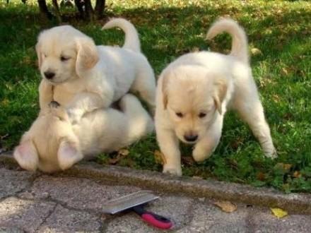 Golden Retriever Puppies - wysoka jakość - na sprzedaż   lubelskie Bełżyce
