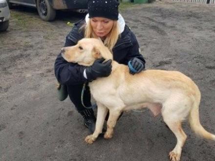 Lilka - delikatna biszkoptowa labradorka szuka domu