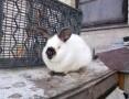 Sprzedam króliki kalifornijskie czarne Rodowodowe.