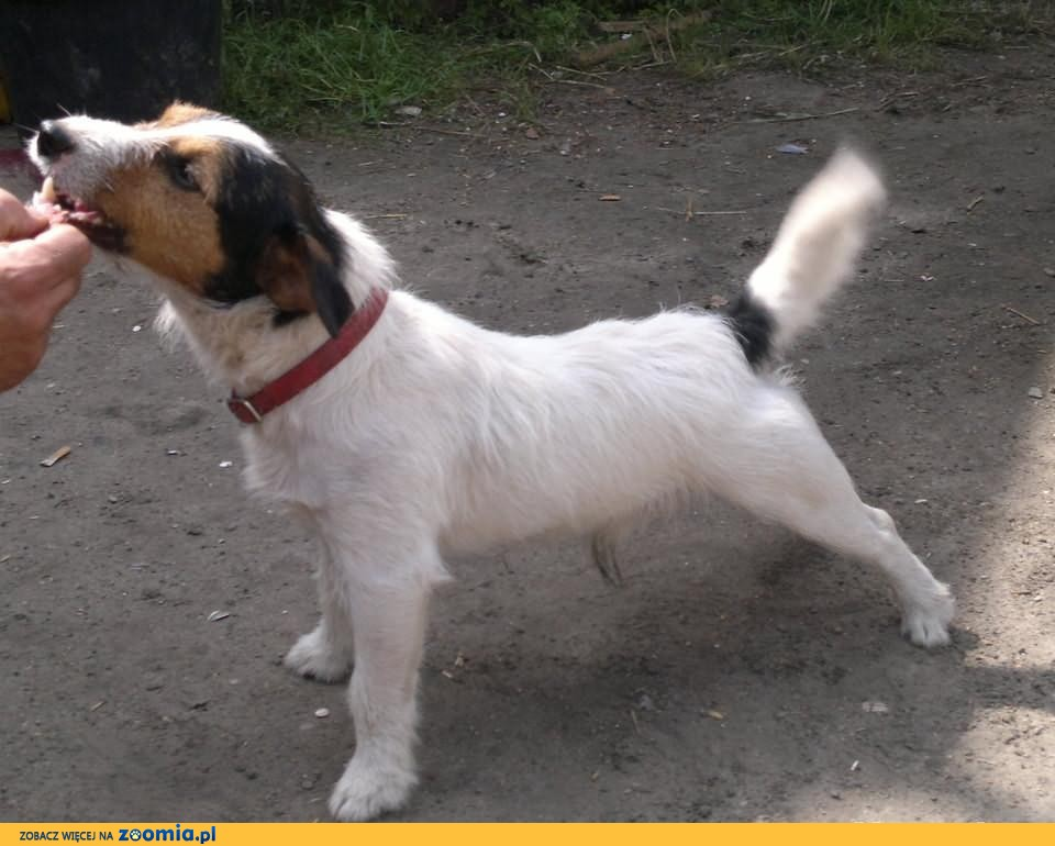 2 Reproduktory Jack Russell Terrier