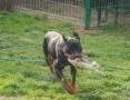 Ewcia – rottweilerka do adopcji