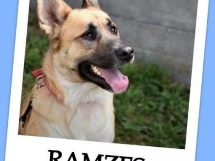 Psi ideał najwierniejszy owczarek niemmix pies RAMZESPILNA ADOPCJA!   małopolskie Kraków