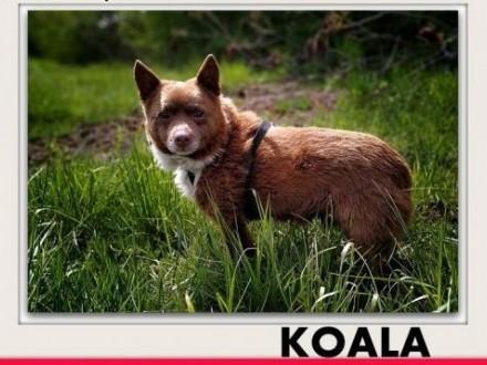 Mały,5kg,łagodny,spokojny,czekoladowy,szczepiony piesek KOALA.ADOPCJA,  mazowieckie Warszawa