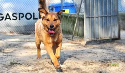 Kaszmir, cudowny psiak szuka domu!,  Kundelki cała Polska