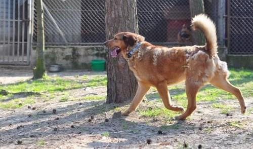 'Kaszmir, cudowny psiak szuka domu!,  Kundelki cała Polska
