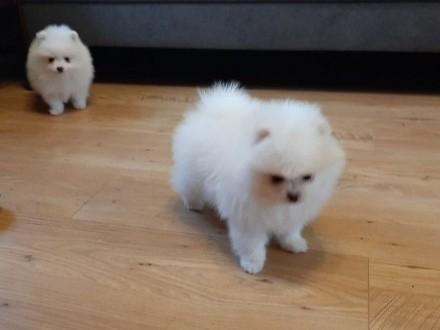 Szpic miniaturowy pomeranianBoo!Biale szczeniaki! -