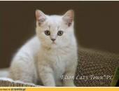 Rodowodowy kociak brytyjski kocięta brytyjskie