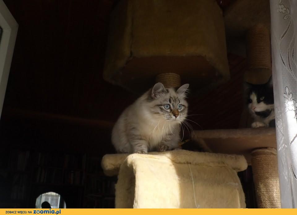 syberyjskie kotki - neva masquerade z rodowodem              Rodowód