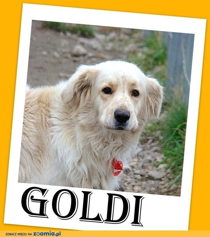 GOLDEN RETRIEVER mix, duży,spokojny pies,czip,ks.zdrowia.ADOPCJA