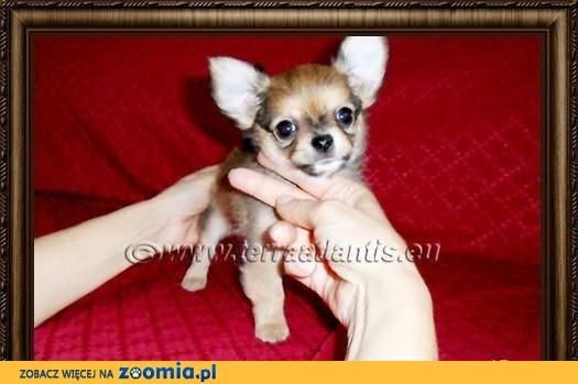 Chihuahua maleńki piesek z metryczką ZKwP/FCI po importach, Tata USA