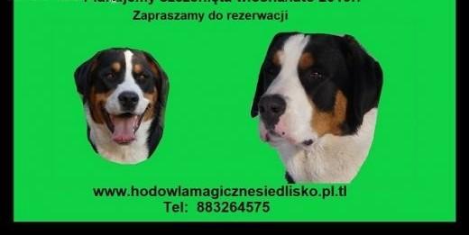 Duży Szwajcarski Pies Pasterski    śląskie Katowice