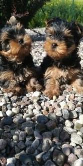 Yorkshire Terrier York / pieski ( chłopcy )
