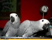 żako kongijskie młode ręcznie karmione zaobrączkowane hodowla papug