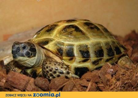 żółw stepowy,  opolskie Kędzierzyn-Koźle