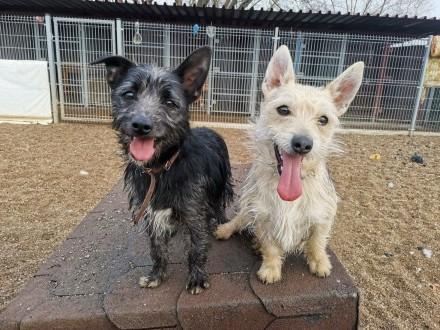 Reksio i Murzynek-dwa roczne psiaki w typie teriera czekają na domy