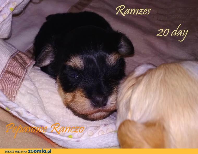 Hawańczyk nie Chihuahua york Coton Gryfon Lhasa maltańczyk toy papilon bichon shih trrier