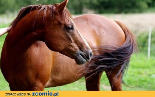 Klacz American Paint Horse ,  małopolskie Kraków