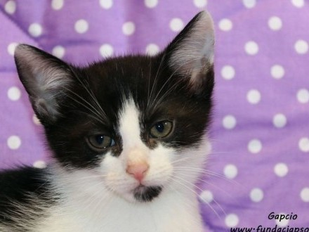 Gapcio - przytulaśny kotek