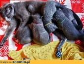 Piękne Kociaki Rosyjskie Niebieskie ALMINI*PL rodowód WCF ,  warmińsko-mazurskie Elbląg