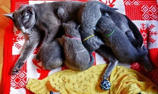 Piękne Kociaki Rosyjskie Niebieskie ALMINI*PL rodowód WCF    warmińsko-mazurskie Elbląg