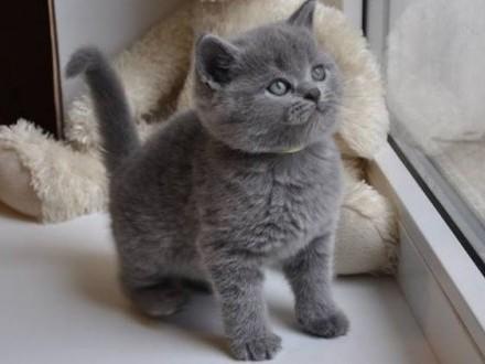 Piękne Kocięta Brytyjskie