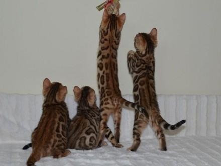 Koty bengalskie z Schelwood*Pl - mamy kocięta !