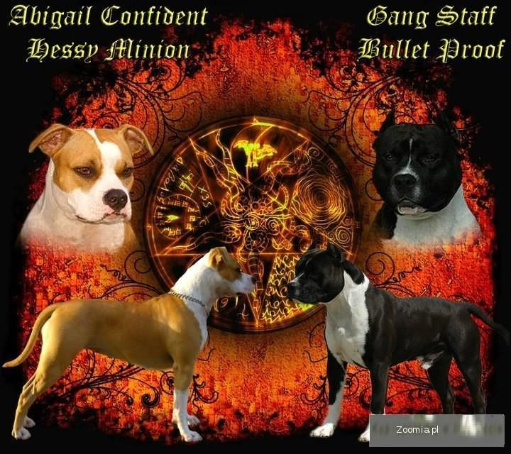 American Staffordshire Terrier szczenięta na sprzedaż