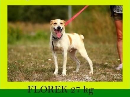 18kg,2lata,młody,przytulaśny,aktywny,kochany,pies FLOREK,  śląskie Katowice