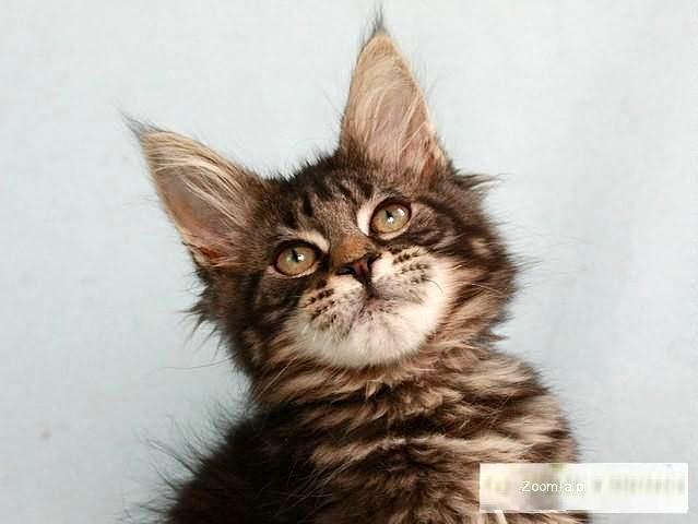 Piękne puszyste różnokolorowe kociaczki