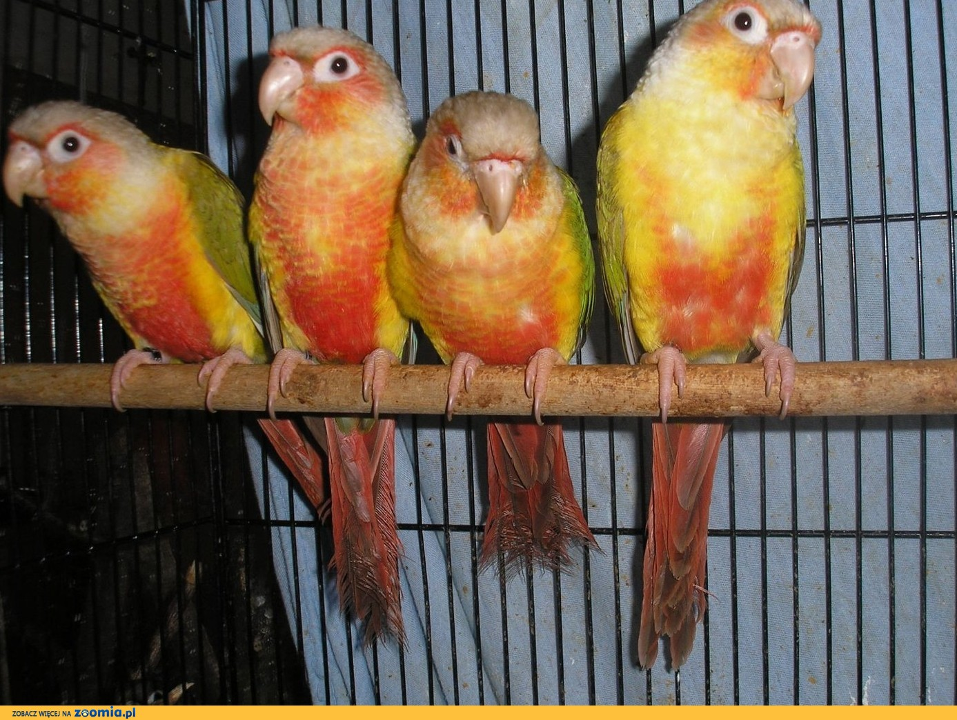 Papugi - Rudosterki - Ręcznie karmione!