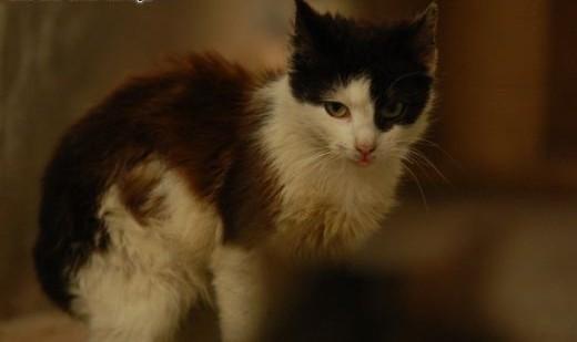 piękna czekoladowa Mocca do adopcji   Koty europejskie cała Polska