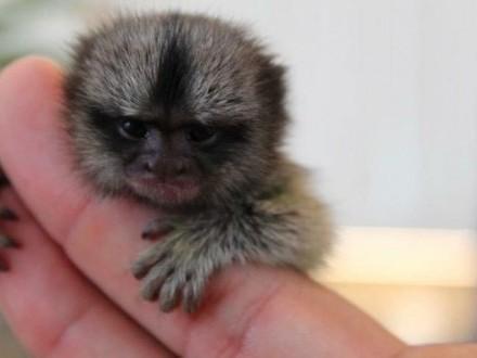 Małpy na sprzedaż