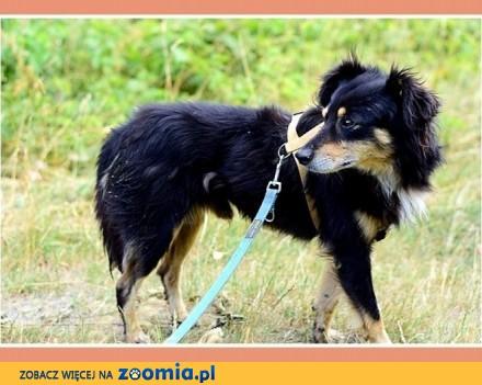 Nieduży 12 kg  łagodny  przytulaśny  spokojny psiak FAZI_Adopcja