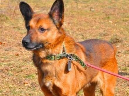 BUBU - świetny  wesoły psiak z uszami nietoperza do adopcji   mazowieckie Warszawa