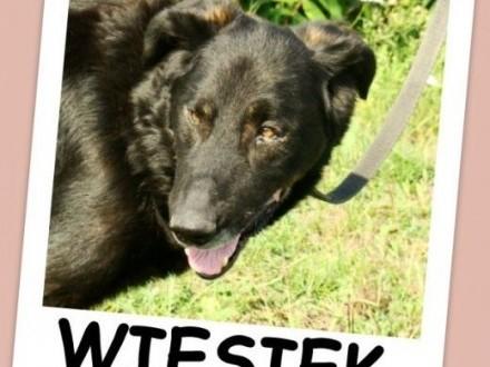 4 lata  30 kg  spokojny łagodny zrównoważony pies WIESIEKAdopcja   łódzkie Łódź