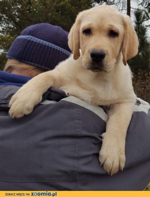 labrador śliczna sunia już do odbioru,  Labrador retriever cała Polska
