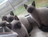 zwierzeta koty sijamski