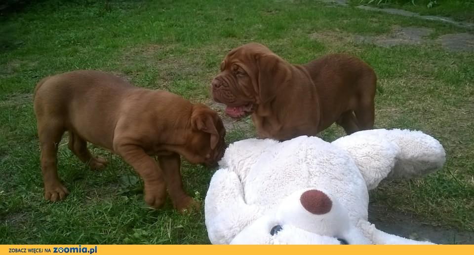 Dog de Bordeaux-Doskonałe Rodowodowe Szczeniaki