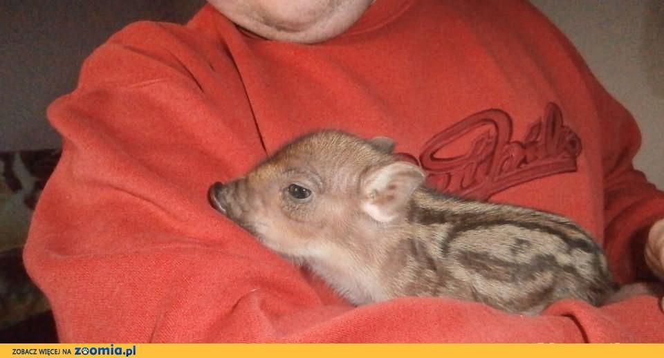 Swinio-dziki