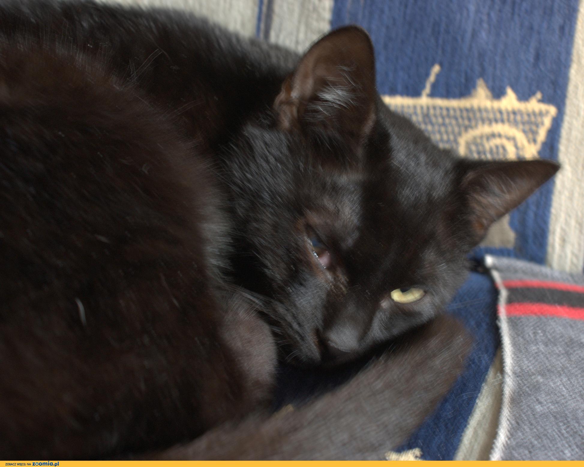 6 miesięczna koteczka Izis do adopcji !