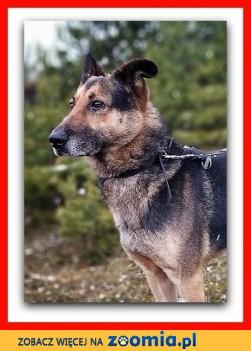 Stróżujący duży w typie owczarka przyjazny szczepiony pies HUZAR_Adopcja_