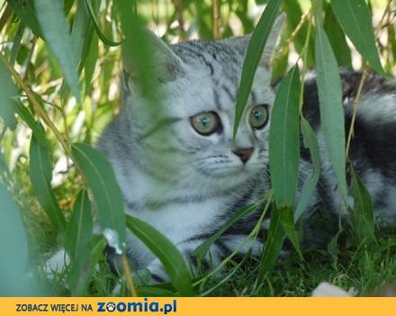 Terrific Koty Brytyjski krótkowłosy dla Twojego domu