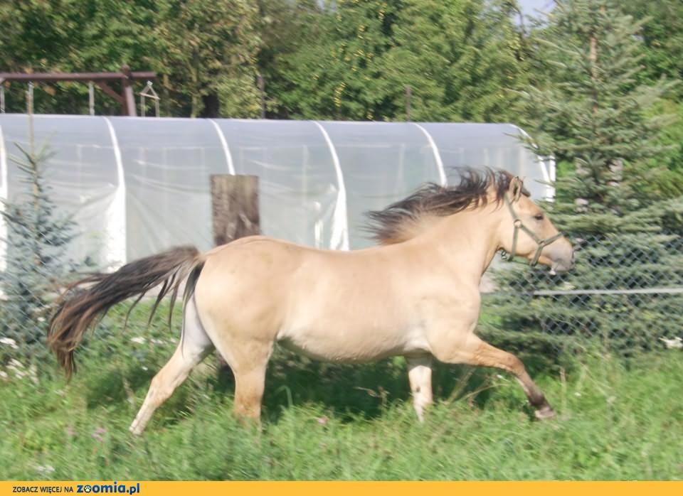 klacz qarter horse