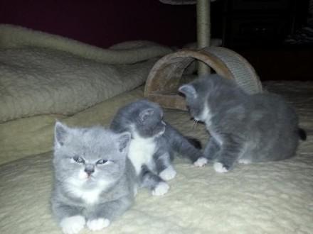 Kocięta brytyjskie niebieskie z białym - rodowód PZF/WCF