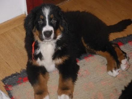 berneński pies pasterski ZKwP FCI -3-mies piesek mocny  zdrowy  usłuchany  ładnie umaszczony KATOWICE Śląsk