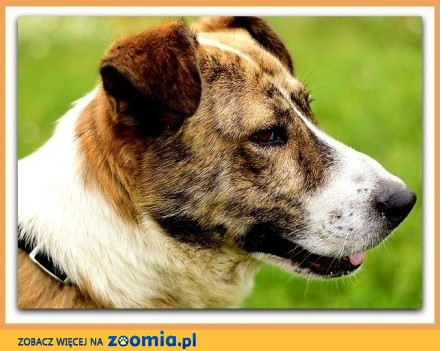 Duży 30 kg zaszczepiony przyjacielski kontaktowy towarzyski pies RON_Adopcja
